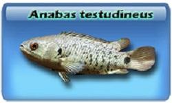 Анабас или рыба-ползун