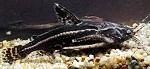 Акантодорас звездчатый (Acanthodoras spinosissimus).